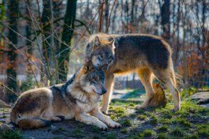 Wölfe Im Harz