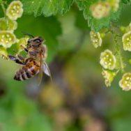 Eine Honigbiene sammelt den Nektar aus der Blüte. Foto: Pixabay